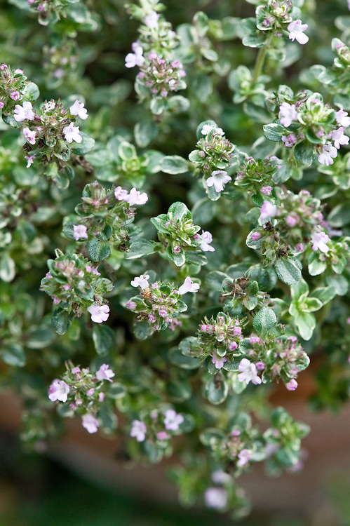 Silver Queen thyme (Thymus x citriodorus 'Silver Queen'), mid August. A lemon-scented thyme with cream-variegated or silvery-white oval leaves and pale-pink flowers.