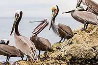 brown pelican, Pelecanus occidentalis, adults, one stretching throat pouch, and one with plastic bag stuck around its neck, Santa Rosalia Harbor, Baja California Sur, Mexico, Gulf of California, Sea of Cortez, Pacific Ocean