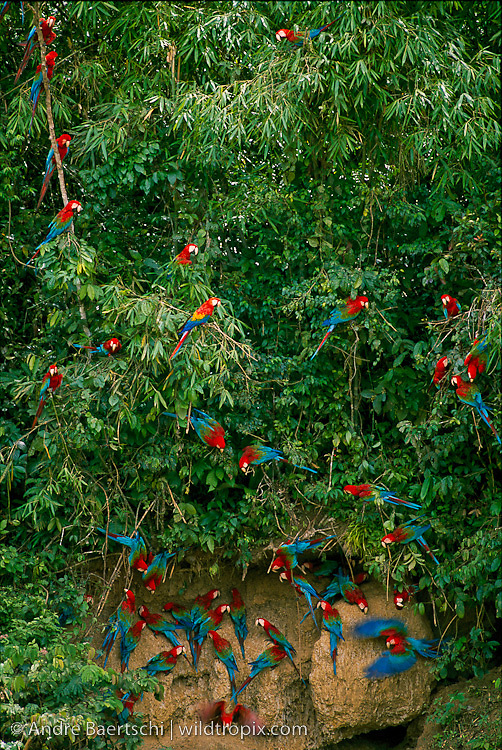 Red-and-Green Macaws and Sclarlet Macaws (Ara chloroptera and Ara macao) at a clay lick along the Rio Manu, lowland tropical rainforest, Manu National Park, Madre de Dios, Peru.