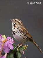 SW01-9002 Song Sparrow Male, Melospiza melodia, © Brian Kuhn/Dwight Kuhn Photography.