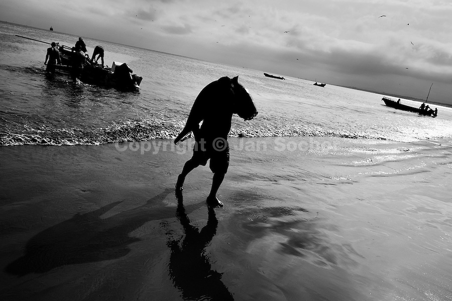 A fisherman carries a dead thresher shark body at dawn on the beach of Manta, Ecuador, 8 September 2012. Every morning, hundreds of shark bodies and thousands of shark fins are sold on the Pacific coast of Ecuador. Although the targeted shark fishing remains illegal, the presidential decree allows free trade of shark fins from accidental by-catch. However, most of the shark species fished in Ecuadorean waters are considered as ?vulnerable to extinction? by the World Conservation Union (IUCN). Although fishing sharks barely sustain the livelihoods of many poor fishermen on Ecuadorean at the end of the shark fins business chain in Hong Kong they are sold as the most expensive seafood item in the world. The shark fins are primarily exported to China where the shark's fin soup is believed to boost sexual potency and increase vitality. Rapid economic growth across Asia in recent years has dramatically increased demand for the shark fins and has put many shark species populations on the road to extinction.