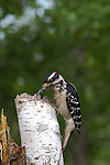 Hairy Woodpecker - Male