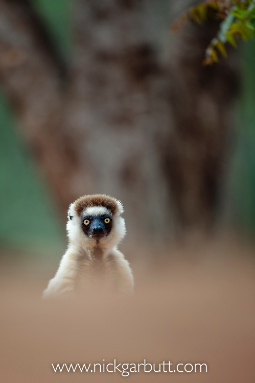 Verreaux's Sifaka (Propithecus verreauxi) on forest floor in spiny forest. Berenty Private Reserve, southern Madagascar.