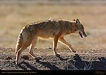 Coyote, Bosque del Apache Wildlife Refuge, New Mexico