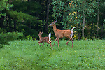White-tailed doe and her fawn running to the safety of the forest.