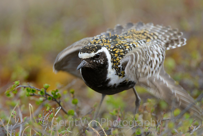 Male Pacific Golden-Plover (Pluvialis fulva) performing distraction display. Yukon Delta National Wildlife Refuge, Alaska. June.