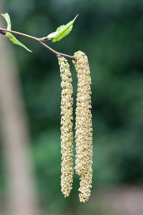 Male catkins of Erman's birch (Betula ermanii), late March.