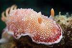 Puerto Galera, Oriental Mindoro, Philippines; a Chromodoris sp. nudibranch moving across the coral reef