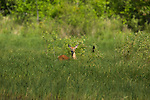 White-tailed deer and red-winged blackbird