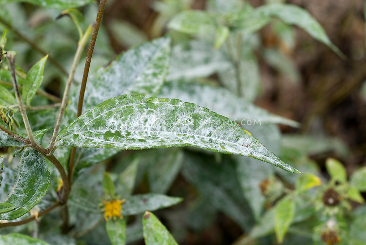 Powdery mildew on Helianthus 'Lemon Queen' diseased leaves, garden problem pest disease on foliage, white powder covering over leaf