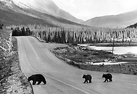 Following the leader: Two bear cubs trudge in the wake of their mother as they cross a highway in the Canadian Rockies. Black bears in particular are notorious scroungers and are frequently seen where visitors gather doing their best to wheedle tidbits to eat.