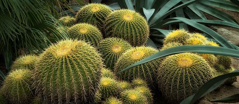 Giant Golden Barrel Cacti. and blue agave. Moorten Botanical Garden. Palm Springs, California