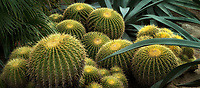 Giant Golden Barrel Cacti. and blue agave. Moorten Botanical Garden. Palm Springs, California