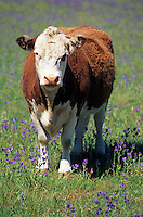 Océanie/Australie/South Australia/Australie Méridionale/Barossa Valley: Vache en pâturage