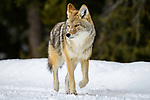 Adult coyote (Canis latrans) in winter snow. Yellowstone National Park, Wyoming, USA. January.