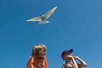 Küsten-Seeschwalbe, Küstenseeschwalbe, attackiert Kinder, die sich in ihrem Revier aufhalten, Seeschwalbe, Sterna paradisaea, Arctic tern