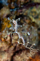 leafy Seadragon, Phycodurus eques, a baby Seadragon approximately 5 - 7 days old, Wool Bay, South Australia, Australia, Southern Ocean