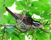Female rose-breasted grosbeak eating mulberries