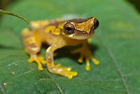 )Hourglass tree frog (Dendrosophus ebraccata)