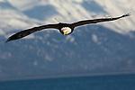 A bald eagle in flight at Homer, Alaska.