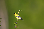 Male American goldfinch perched  in a speckled alder.