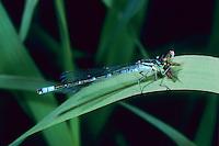 Mond-Azurjungfer, Mondazurjungfer, Coenagrion lunulatum, Irish damselfly, crescent bluet, l'agrion à lunules