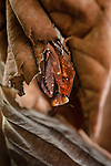 Giant Deaf-Leaf Mantis (Deroplatys desiccata) on dry leaf in the rain forest understorey. Near Ginseng Camp in the heart of Maliau Basin - Sabah's 'Lost World'. Maliau Basin, Borneo. (Head facing downward is the correct orientation).
