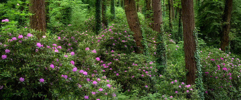 Rododendrons and maple trees. Washington Park, OR