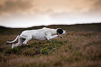 Pointer dog pointing and moving towards grouse on a grouse moor, West Yorkshire.