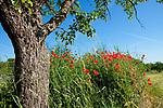 Europa, DEU, Deutschland, Baden-Wuerttemberg, Schwaebische Alb, Bissingen an der Teck, Albtrauf, Klatschmohn (Papaver rhoeas), auch Mohnblume oder Klatschrose, Baum, Stamm, Rinde, Natur, Umwelt, Landschaft, Landschaftsfotos, Landschaftsfotografie, Landschaftsfoto, <br /> <br /> [Fuer die Nutzung gelten die jeweils gueltigen Allgemeinen Liefer-und Geschaeftsbedingungen. Nutzung nur gegen Verwendungsmeldung und Nachweis. Download der AGB unter http://www.image-box.com oder werden auf Anfrage zugesendet. Freigabe ist vorher erforderlich. Jede Nutzung des Fotos ist honorarpflichtig gemaess derzeit gueltiger MFM Liste - Kontakt, Uwe Schmid-Fotografie, Duisburg, Tel. (+49).2065.677997, ..archiv@image-box.com, www.image-box.com]