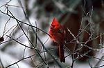 Male cardinal perching on a branch in Nebraska.