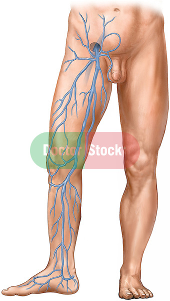 This medical illustration pictures the lower half of a white male figure from the anterior view. The right leg is turned so the medial side can be seen. This illustration focuses on the superficial veins of the leg. The femoral vein is shown exiting the saphenous opening where it becomes known as the great saphenous vein. The great saphenous vein and the various veins  that drain into it are shown from the medial view.