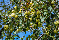 Ripe green aspples on the tree, Vermont, USA.