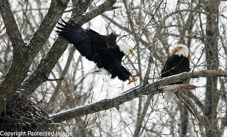 A pair of bald eagles situate themselves on a branch near their nest at Bay Beach Wildlife Sanctuary after a late-afternoon feeding on February 10, 2006.....