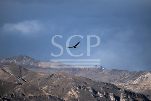 Colca Canyon, Peru. Condor soaring over the mountains.