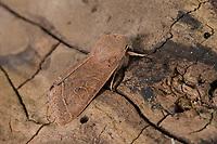 Rundflügel-Kätzcheneule, Gemeine Kätzcheneule, Rotgelbe Frühlingseule, Gemeine Frühlingseule, Rundflügelkätzcheneule, Orthosia cerasi, Orthosia cerasia, Monima cerasi, Orthosia stabilis, common Quaker, l'Orthosie du cerisier, Eulenfalter, Noctuidae, noctuid moths, noctuid moth