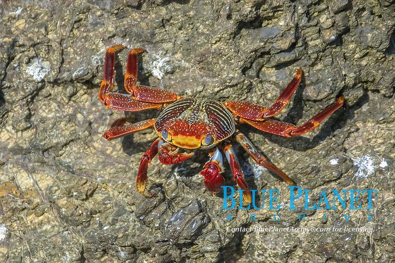 Red rock crab, Grapsus grapsus, St. Peter and St. Paul's rocks, Brazil, Atlantic Ocean