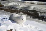 Arctic fox (Alopex lagopus) lying in the snow