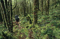 A tramper on a track through a beautiful, heavily moss cloaked bush near Taipo Hut on the Wangapeka Track - Kahurangi National Park