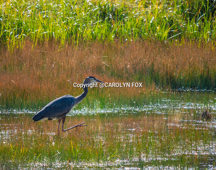 Great Blue Heron are often seen in Yellowstone.