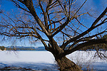 Idaho, Hayden. A Lakeshore tree reaches out over the frozen water of Hayden Lake on a sunny winter day.