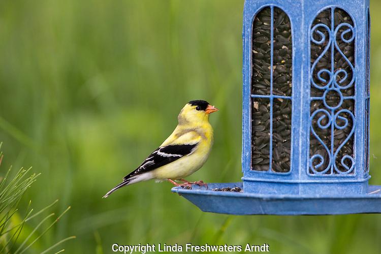 Male American goldfinch at a backyard feeder