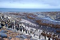 King Penguins<br />Animals - Antartic<br />St. Andrews Bay / South Georgia<br />© Explorer-Images / Jay Watson