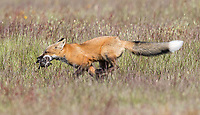 A fox kit makes off with some baby bunnies that its mother brought in from a hunt.