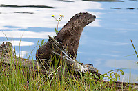 Young River otter (Lutra canadensis) on the look out for his sibling and playmate.