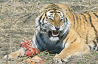 China. Province of Heilongjiang. Harbin. Siberia Tiger Park. A tiger is ready to fight for the raw beef meat received during the food distibution.© 2004 Didier Ruef