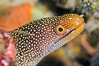stout moray eel, Gymnothorax eurostus, Izu ocean park, Sagami bay, Izu peninsula, Shizuoka, Japan, Pacific Ocean