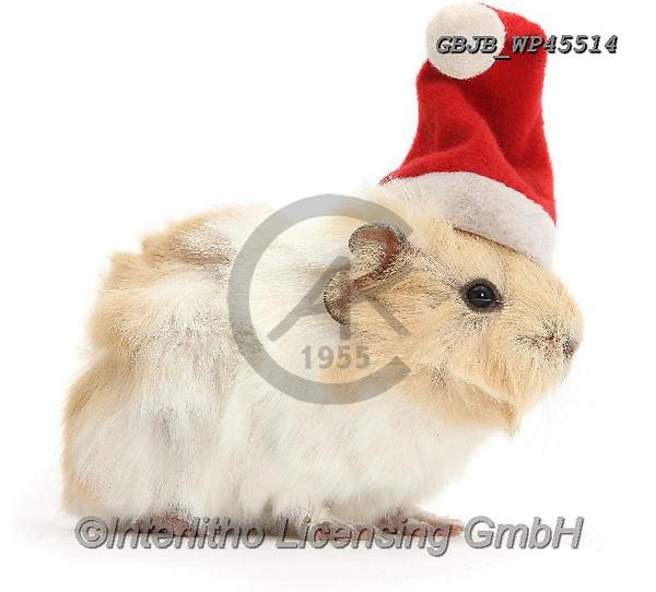 Kim, CHRISTMAS ANIMALS, WEIHNACHTEN TIERE, NAVIDAD ANIMALES, photos+++++,GBJBWP45514,#xa#