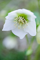 Helleborus x hybridus ' White Single'
