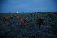 A full moon rises in early evening above the Gila herd of Spanish origin.  They came to North America with the Conquistadors in the 1600s.  They were rescued by Karen Sussman and the International Society for the Protection of Mustangs and Burros.